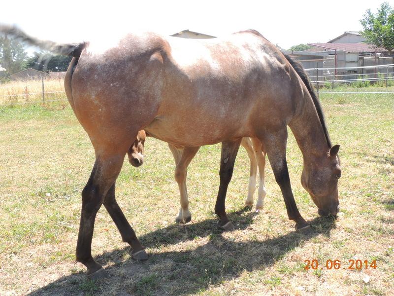 Les chevaux de l'Appaloosa IJ Farm - Page 2 Uppy_310