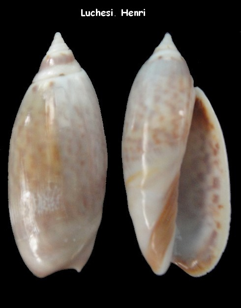 Agaronia hiatula (Agaronia) Gmelin, 1791 Agaron14