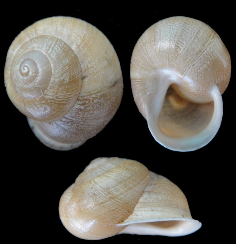 Eobania vermiculata (Müller, 1774) - Page 3 Aix-en30