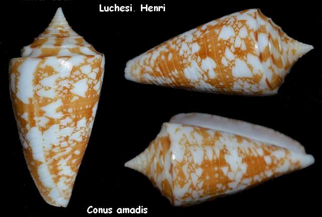 Conus (Leptoconus) amadis   Gmelin, 1791 Conus_12