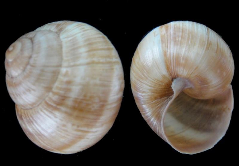 Helix pomatia (Linnaeus, 1758) Helix_11
