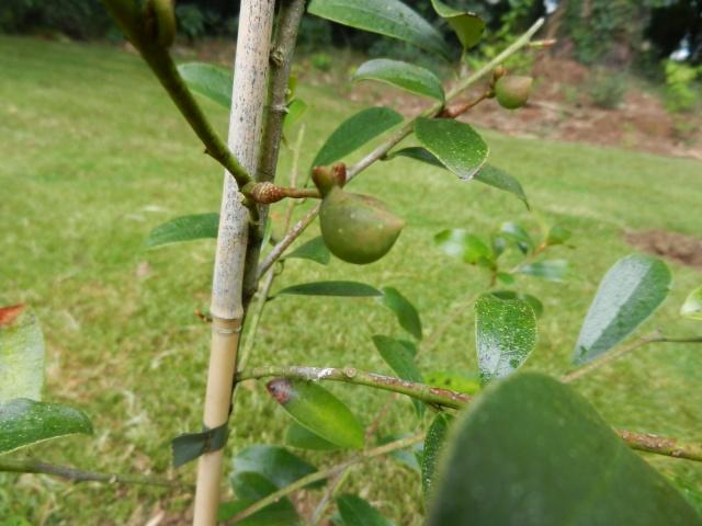 Magnolia yunnanensis (= Michelia yunnanensis) 00115