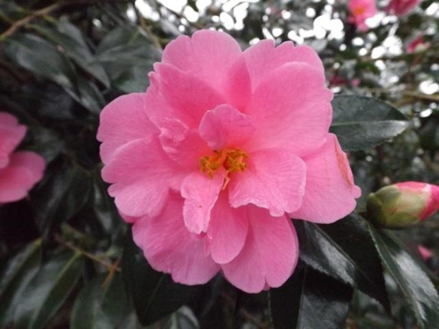 Camellia - choix & conseils de culture 00332