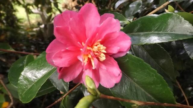 Les camellias saison 2014 2015 00426