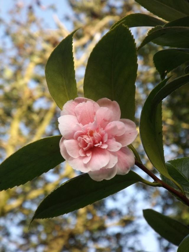 Camellia 'Showa no sakae' et 'Duchesse Decazes' 00427