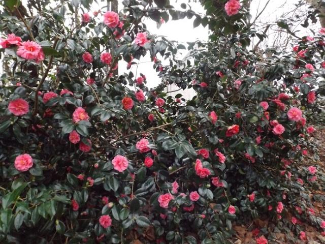 Camellia - choix & conseils de culture 00430
