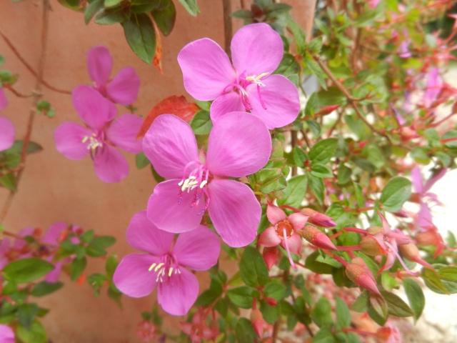 Rusticité Phymosia umbellata, centradenia floribunda et bégonia sutherlandii 00513