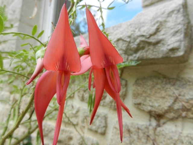 Centradenia floribunda, Clianthus puniceus, Tibouchina urvilleana [devinette] 00611