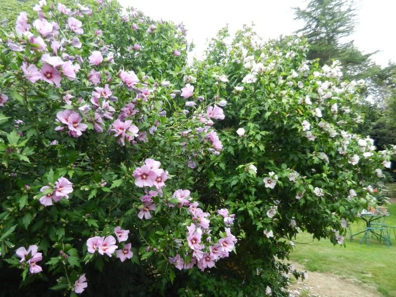 Floraisons du mois d'Août - Page 10 00617