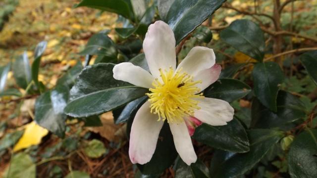 Les camellias saison 2014 2015 00625