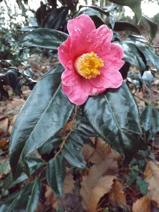 Camellia - floraisons d'automne - Page 2 00628