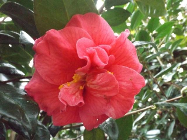 Camellia - choix & conseils de culture 00720