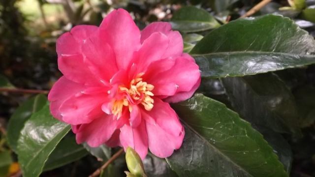 Camellia sasanqua 'Kanjiro' 00817