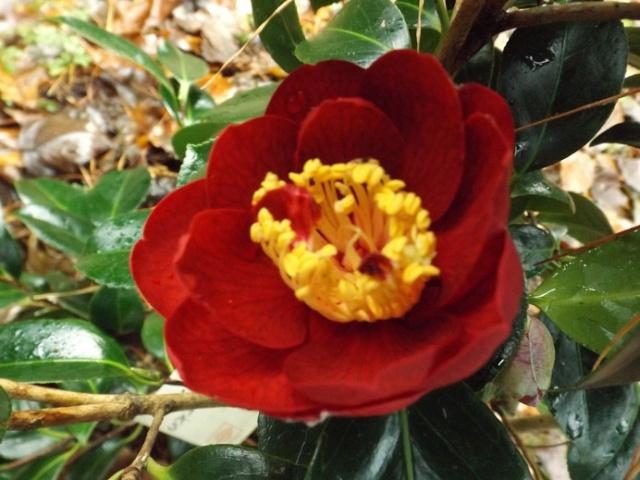 Camellia - floraisons d'automne - Page 2 00821