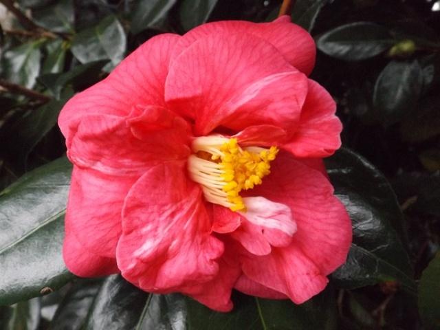 Camellia - choix & conseils de culture 00824
