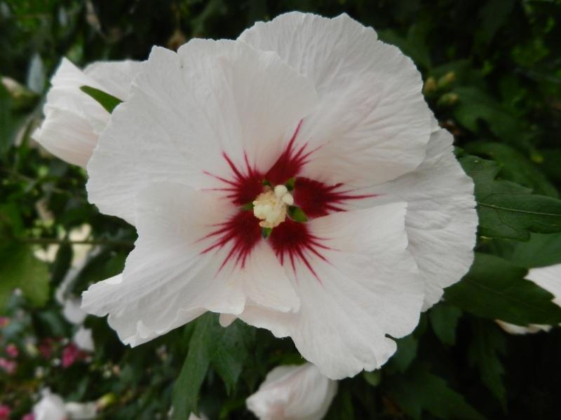 Floraisons du mois d'Août - Page 10 01113