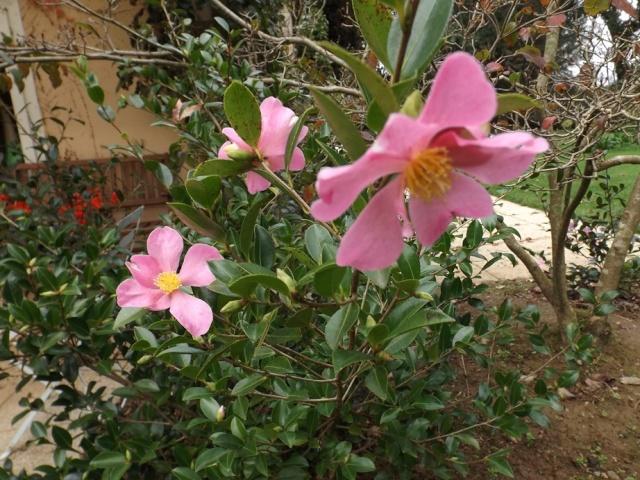 Camellia sasanqua 'Hugh Evans' 01618