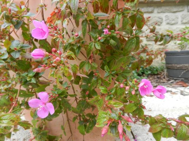 Centradenia floribunda, Clianthus puniceus, Tibouchina urvilleana [devinette] 01810