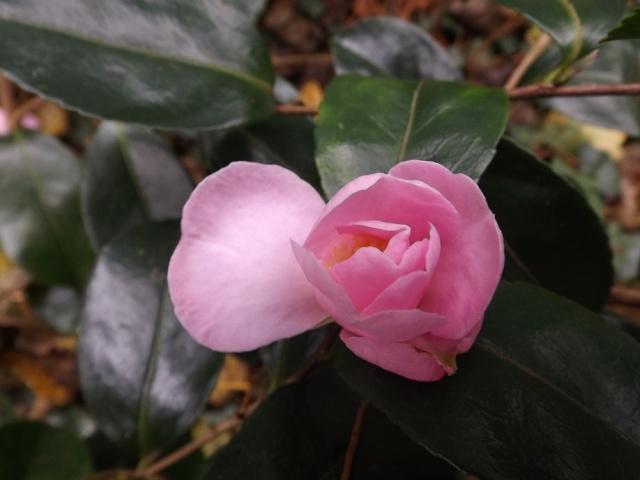 Camellia sasanqua 'Plantation Pink' 02016