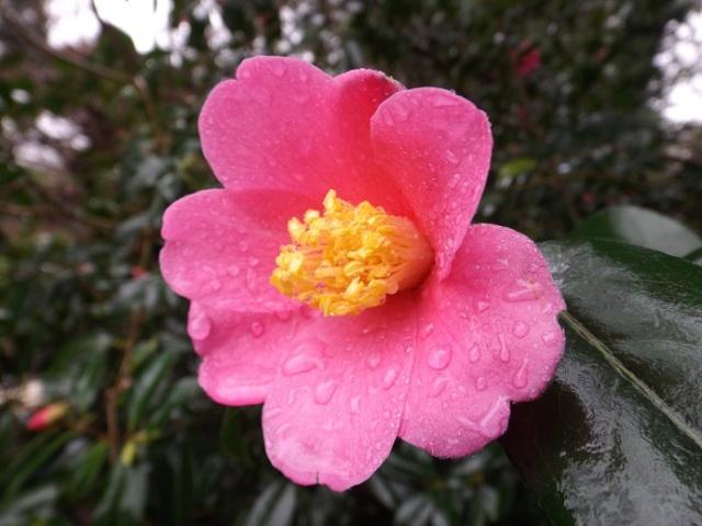 Camellia - floraisons d'automne - Page 2 02121