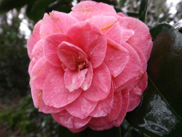 Camellia - floraisons d'automne - Page 2 02318
