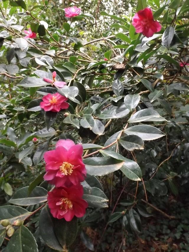 Camellia sasanqua 'Kanjiro' 02417