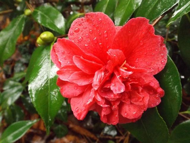 Camellia - floraisons d'automne - Page 2 02419