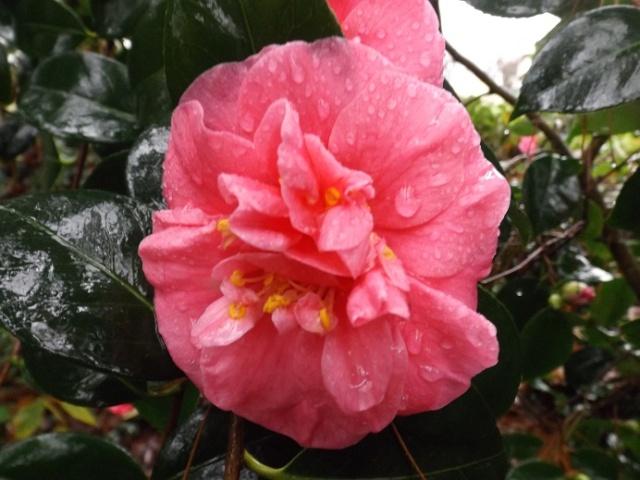 Camellia - floraisons d'automne - Page 2 02714