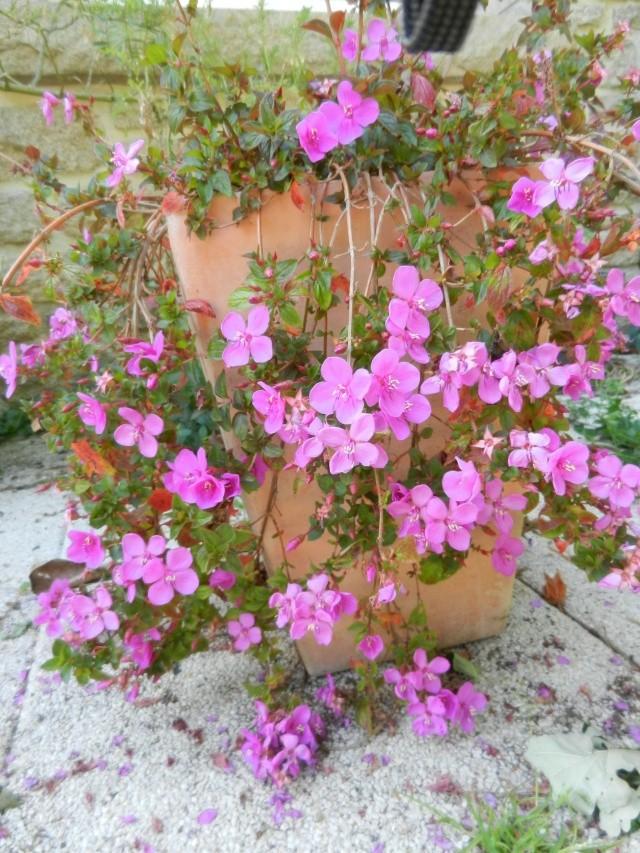 Floraisons de novembre - Page 10 Centra10