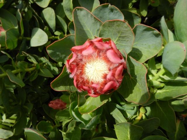 (29) Jardin exotique de Roscoff Protea10