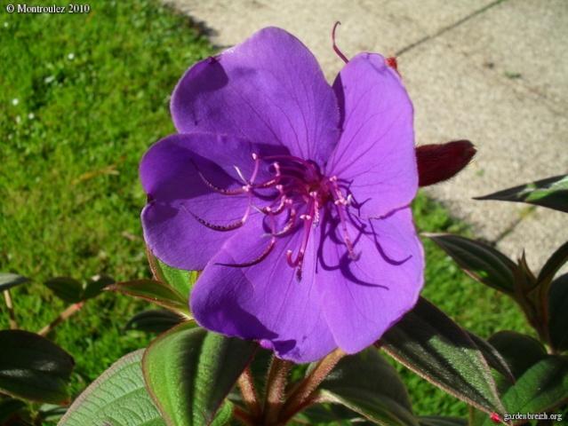 Centradenia floribunda, Clianthus puniceus, Tibouchina urvilleana [devinette] Tibouc13