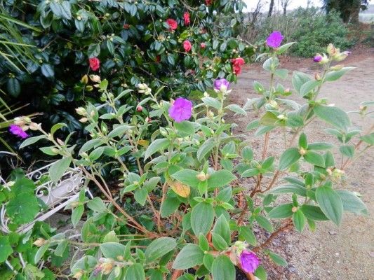 Centradenia floribunda, Clianthus puniceus, Tibouchina urvilleana [devinette] Tibouc14