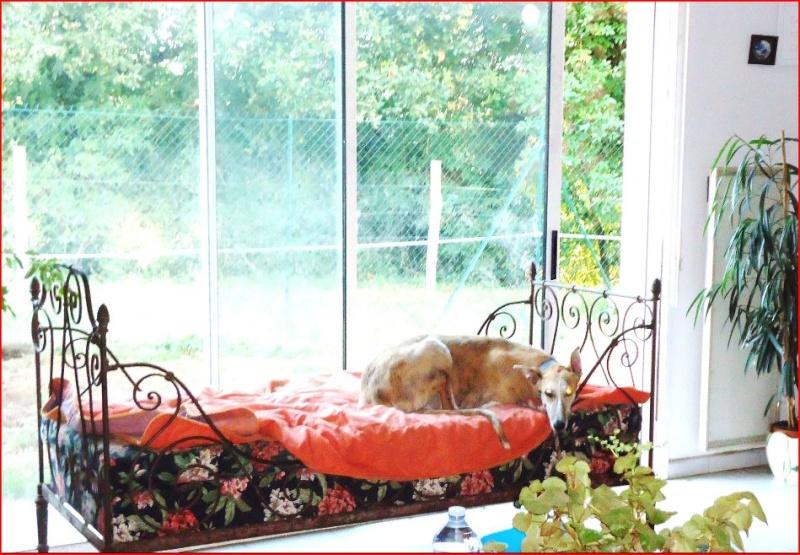 Duque –adorable galgo (5 ans) OK chats Scooby France Adopté  - Page 2 Duque117