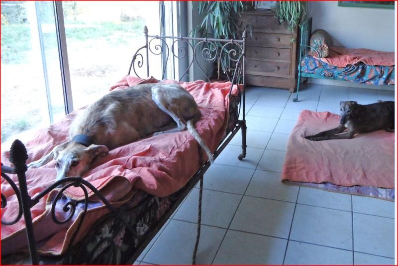 Duque –adorable galgo (5 ans) OK chats Scooby France Adopté  - Page 2 Duque118