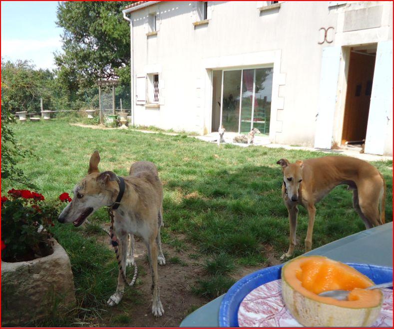 Duque –adorable galgo (5 ans) OK chats Scooby France Adopté  - Page 2 Duque213