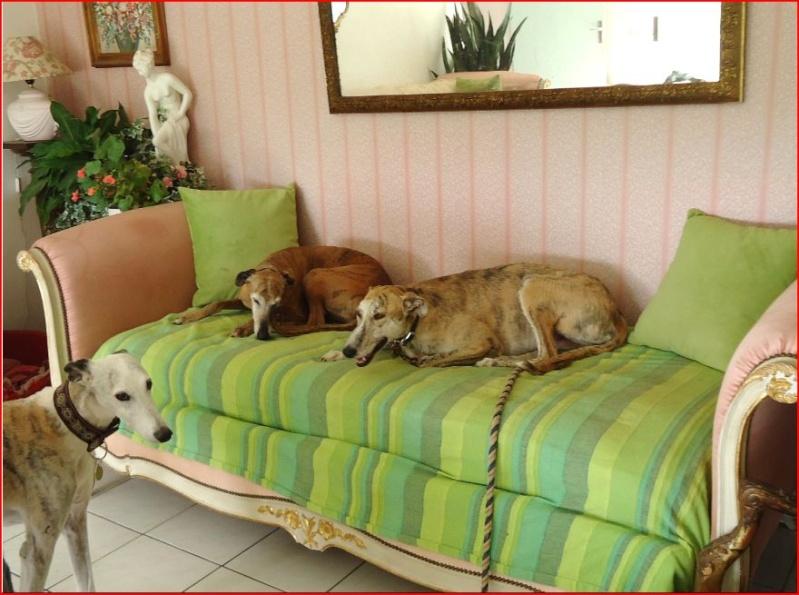 Duque –adorable galgo (5 ans) OK chats Scooby France Adopté  - Page 2 Duque311