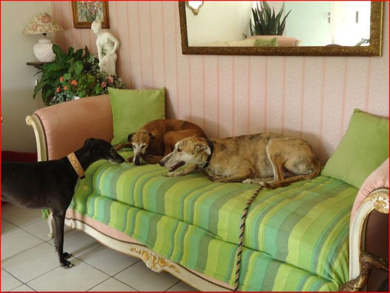 Duque –adorable galgo (5 ans) OK chats Scooby France Adopté  - Page 2 Duque312