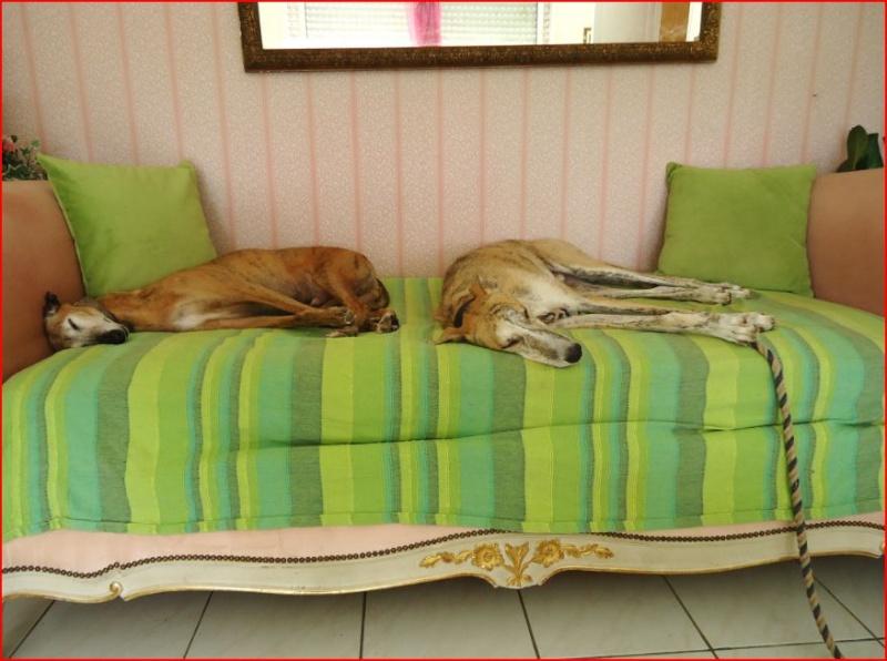 Duque –adorable galgo (5 ans) OK chats Scooby France Adopté  - Page 2 Duque313
