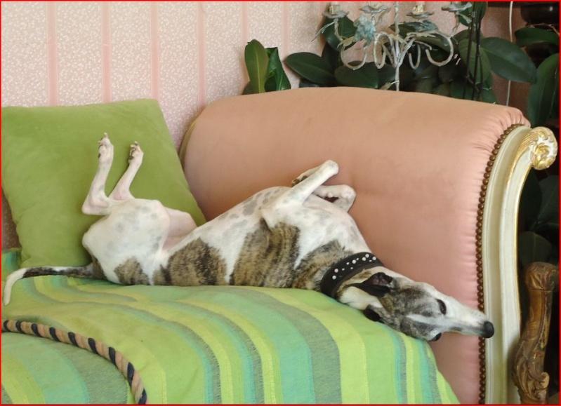 Duque –adorable galgo (5 ans) OK chats Scooby France Adopté  - Page 2 Duque316