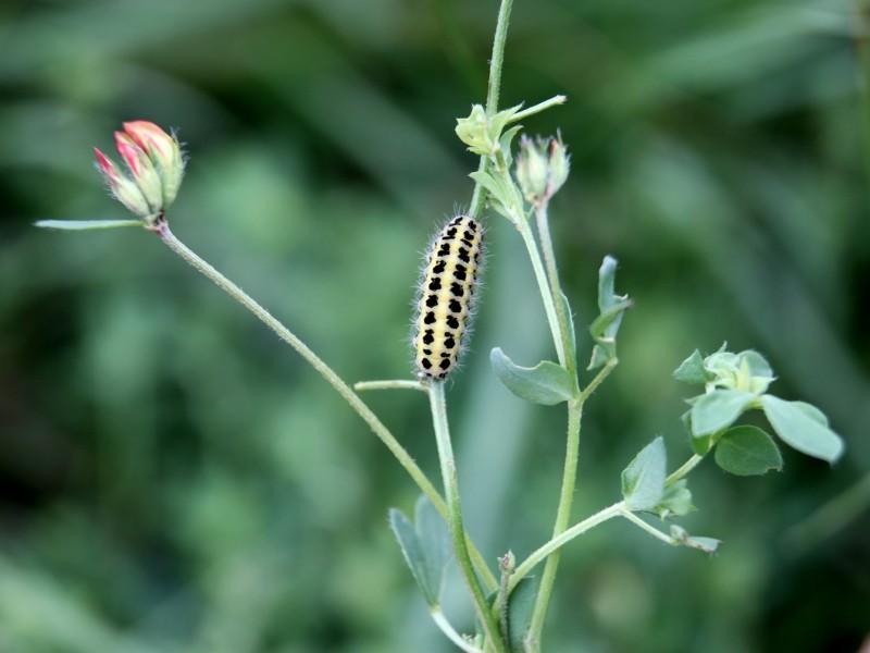 Un papillon - une chenille - Zygaena trifolii  Lotus_10