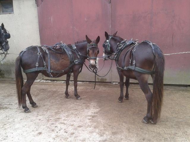 Mon projet d'attelage à 4 mules pas à pas ... 10270810