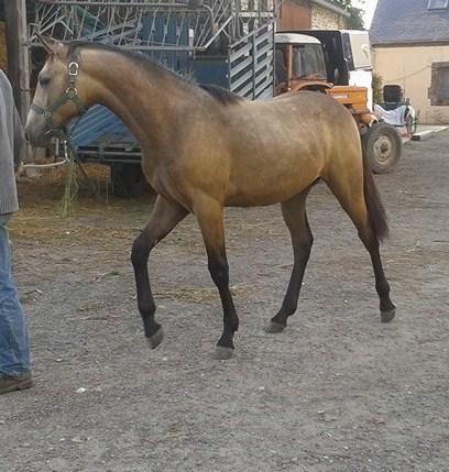 poulain  1 an quarter horse X pur sang lusitanien isabelle papiers OC 10378910