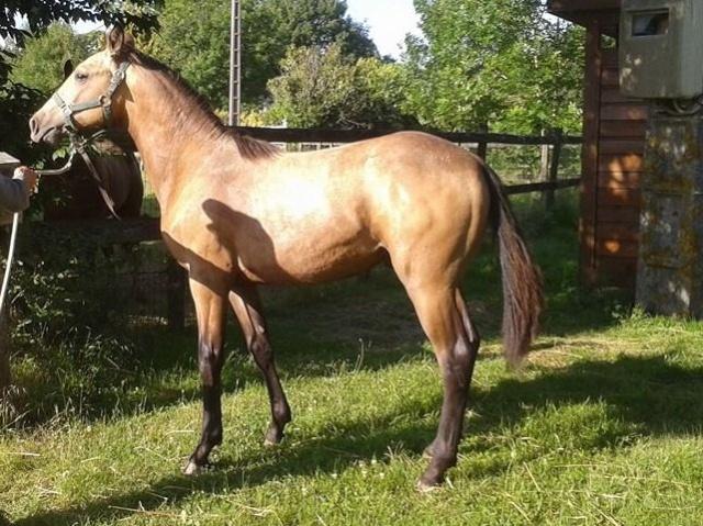 poulain  1 an quarter horse X pur sang lusitanien isabelle papiers OC 10450910