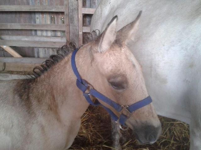 poulain  1 an quarter horse X pur sang lusitanien isabelle papiers OC 10480110