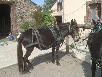 Mon projet d'attelage à 4 mules pas à pas ... 10486110