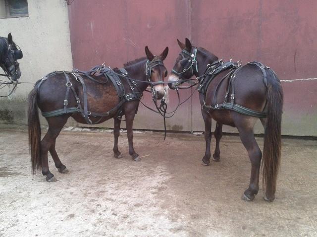 Mon projet d'attelage à 4 mules pas à pas ... 10492510