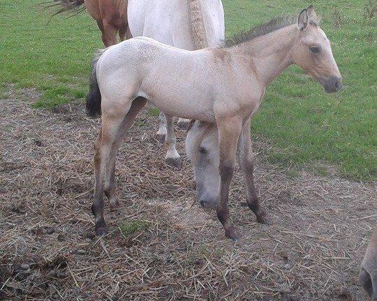 poulain  1 an quarter horse X pur sang lusitanien isabelle papiers OC 10559810