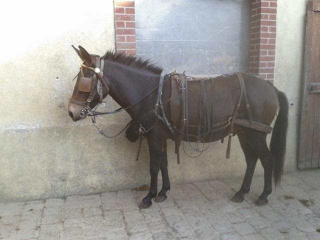 A VENDRE : mulet 1m33 4 ans // VENDU 10646710