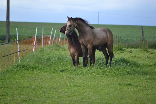 poulain  1 an quarter horse X pur sang lusitanien isabelle papiers OC Dsc_0010