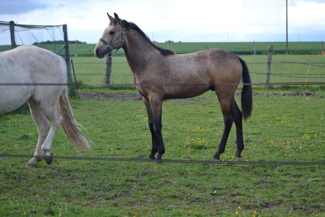 poulain  1 an quarter horse X pur sang lusitanien isabelle papiers OC Dsc_0014